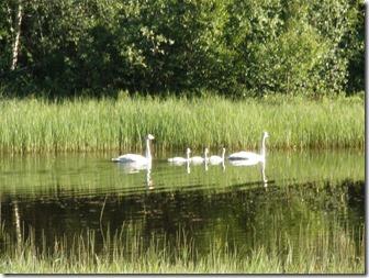 Sångsvansfamilj i Åbäcken
