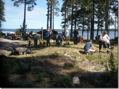 Uppgrävning av lupiner vid badplatsen i Olsnäs